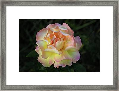 Peace Rose Framed Print by Sandy Keeton