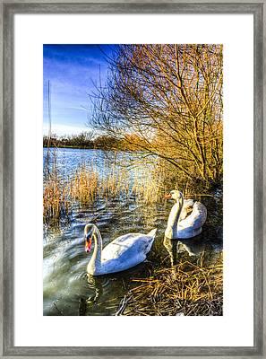 Peaceful Swans Framed Print by David Pyatt