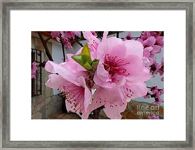 Peach Blossom 2 Framed Print by Rod Jones