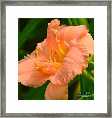 Peach Day Lilly Framed Print by Kathleen Struckle