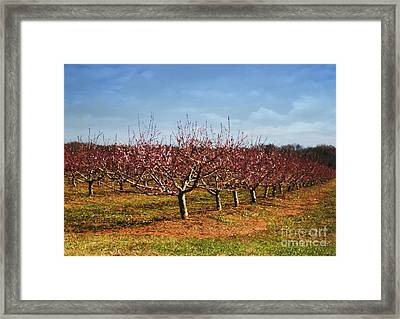 Peach Orchard Framed Print by Elena Nosyreva