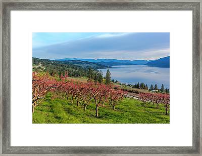 Peach Orchard In Bloom In Lake Country Framed Print by Chuck Haney
