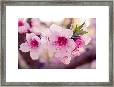 Peach Orchards In Spring Bloom Framed Print by Teri Virbickis