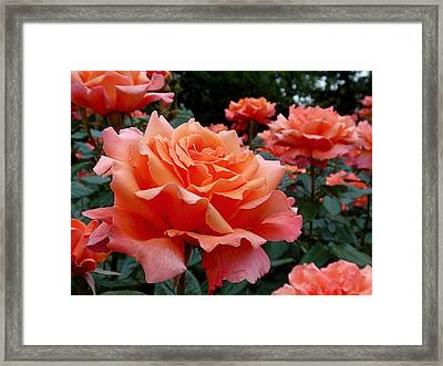 Peach Roses Framed Print by Rona Black