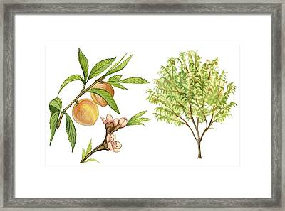 Peach Tree Framed Print by Anonymous