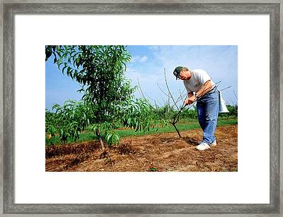 Peach Tree Short Life Disease Research Framed Print by Rob Flynn/us Department Of Agriculture