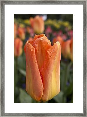 Peach Tulip Framed Print by Priya Ghose