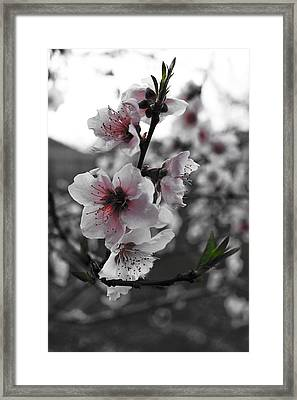 Peaches In Bloom Framed Print by Jeannie Owens