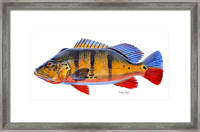 Peacock Bass Framed Print by Carey Chen