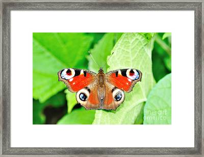 Peacock Buterfly Framed Print by Martin Capek