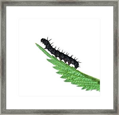 Peacock Butterfly Caterpillar Framed Print by Natural History Museum, London