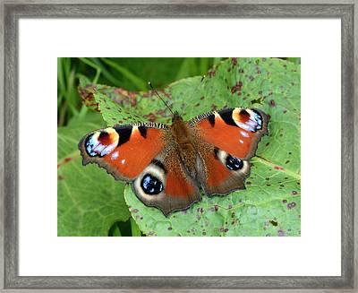 Peacock Butterfly Framed Print by Nigel Downer
