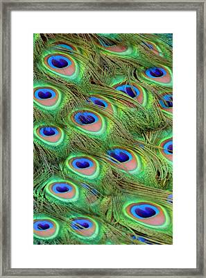 Peacock Feather Cascade Framed Print by Angelina Vick