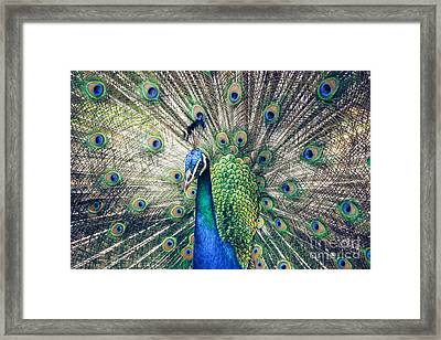 Peacock Indian Blue Framed Print by Sharon Mau