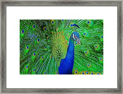 Peacock Framed Print by Nikolyn McDonald