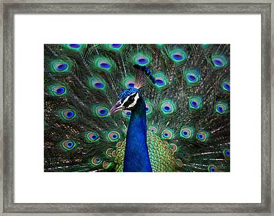 Peacock Framed Print by Unknown