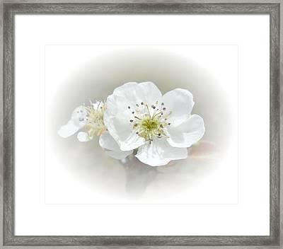 Pear Blossom Framed Print by Judy Hall-Folde