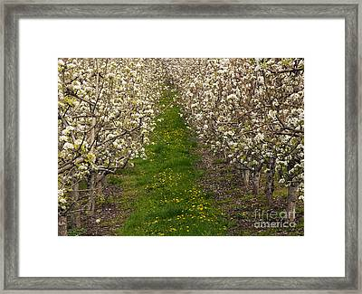 Pear Blossom Lane Framed Print by Mike  Dawson