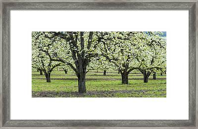 Pear Orchard In Bloom, Mt Hood, Oregon Framed Print by Panoramic Images