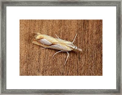 Pearl Grass-veneer Moth Framed Print by Nigel Downer