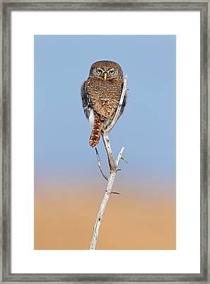 Pearl-spotted Owlet Framed Print by Bildagentur-online/mcphoto-schaef