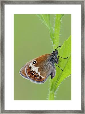 Pearly Heath Butterfly Framed Print by Heath Mcdonald