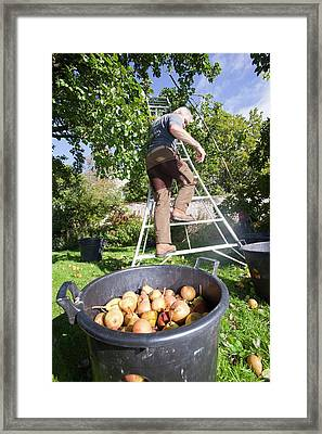 Pears Being Harvested To Make Perry Framed Print by Ashley Cooper