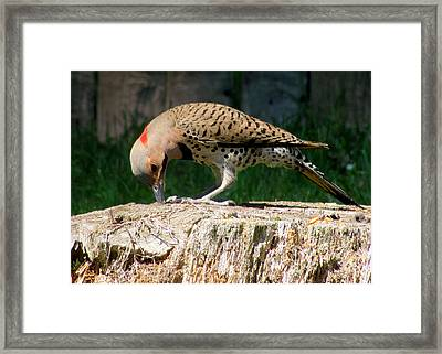 Pecking Flicker Framed Print by Lori Pessin Lafargue