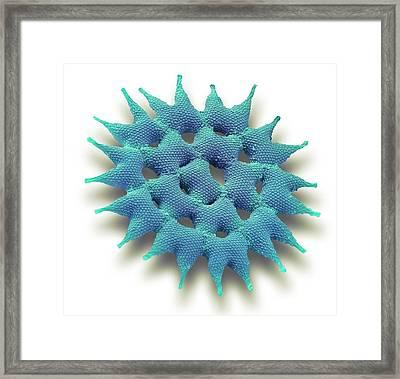 Pediastrum Alga Framed Print by Steve Gschmeissner