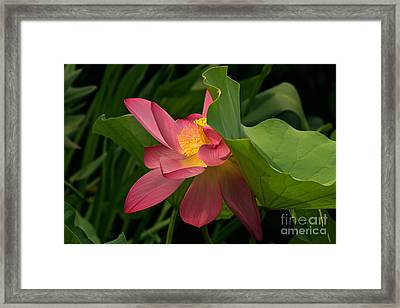 Peekaboo Lotus Blossom Framed Print by Byron Varvarigos