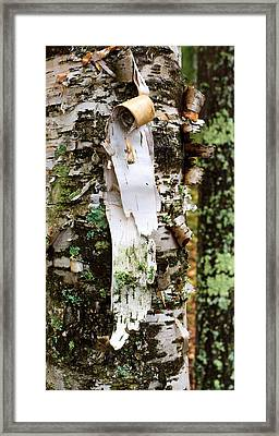 Peeling Birch Framed Print by Adam Pender