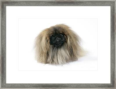 Pekingese Dog Framed Print by John Daniels