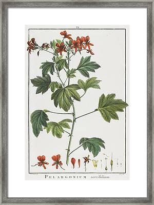 Pelargonium Acerifolium Framed Print by Pierre Joseph Redoute