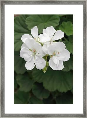 Pelargonium 'glacis' Framed Print by Geoff Kidd