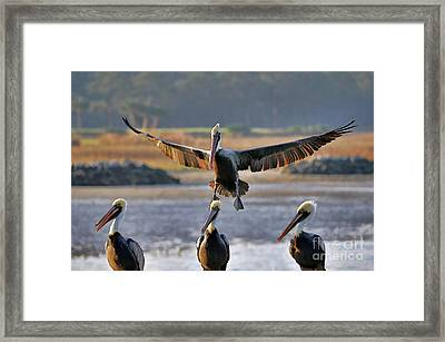 Pelican Coming In For Landing Framed Print by Dan Friend