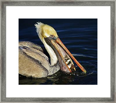 Pelican Fish Dinner Framed Print by Paulette Thomas