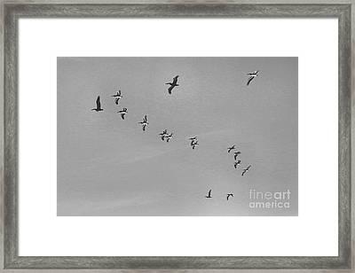 Pelican Flying Formation II Framed Print by Scott Cameron