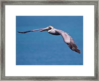 Pelican In Flight Florida Framed Print by Mr Bennett Kent