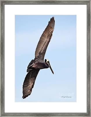 Pelican In Flight Framed Print by Michelle Wiarda
