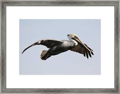 Pelican In Flight Framed Print by Paulette Thomas