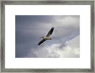 Pelican In Flight Framed Print by Thomas Young