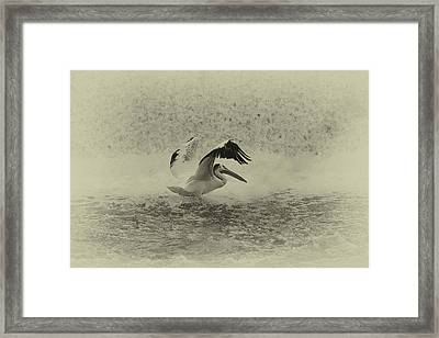 Pelican Landing In Black And White Framed Print by Thomas Young
