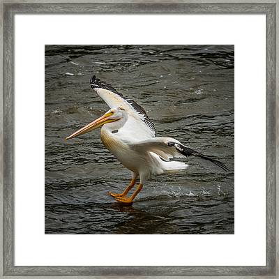 Pelican Landing Framed Print by Paul Freidlund