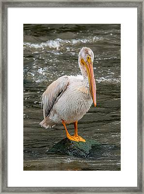 Pelican On A Rock Framed Print by Paul Freidlund