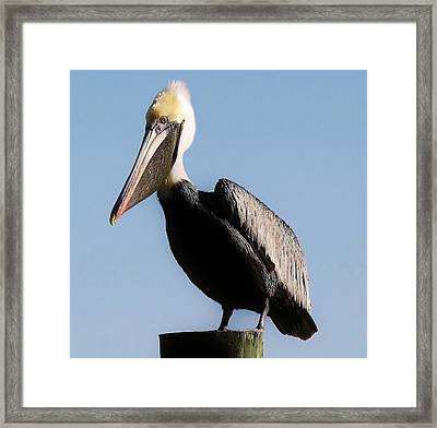 Pelican  Framed Print by Paulette Thomas