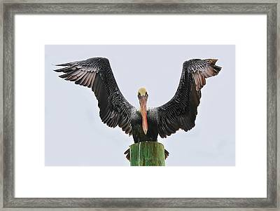 Pelican Poser Framed Print by Paulette Thomas