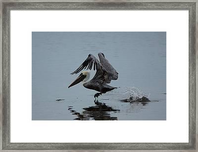 Pelican Takeoff Framed Print by Scott Dovey