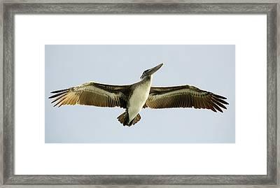 Pelican Wing Span Framed Print by Paulette Thomas