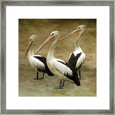 Pelicans Framed Print by Daniel Hagerman