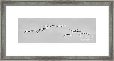 Pelicans In Flight II Framed Print by Scott Cameron
